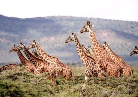 giraffer-i-afrika-set-paa-safari